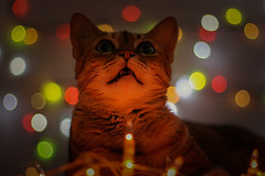 019 - She loves xmas lights. (raphaelaugusto1987) Tags: cat gato bokeh christmas luzes natal brasil bokehlicious