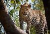 Hosana male leopard (daniel.sutor) Tags: elephantplainsgamelodge safari afrika hosana säugetiere südafrika busch katzen sabisandgamereserve leopard africa greaterkruger hosanamaleleopard pantherapardus sabisands southafrica