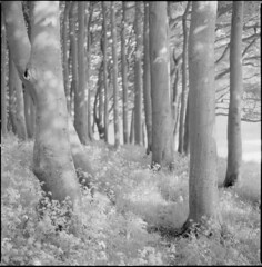 Copse (steve-jack) Tags: hasselblad 501cm 80mm cb ilford sfx 200 zomei 720nm ir filter infrared beech trees copse wood perceptol epson v500