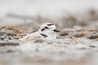 Nesting Snowy Plover