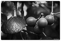 WldFlwrs_062 (PEN-F_Fan) Tags: pencamera orthofilm on1photoraw2018 photoframe photoedge photoborder monotone monochrome mirrorless on1photoraw olympuspenf northamerica plant texas style shallowdepthoffield vine unitedstatesofamerica type preset postprocessing raw processingsoftware primelens microfourthirds effect closeup filmlook film blackandwhite blackwhite camera bokeh macro m43 mft ladybirdjohnsonwildflowercenter grape mzuiko30mmf35macro lens austin olympusflickraward