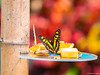 Enjoying the fruits (✦ Erdinc Ulas Photography ✦) Tags: lenstagger insect butterfly butterflies bokeh smooth background yellow red konica netherlands nederland dutch vlinder vlindorado fruit banana orange enjoying fruits tree wood nature black malachiet siproeta stelenes lepidoptera