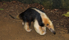 Tamandua (Schwanzus_Longus) Tags: krefeld zoo german germany america animal ant anteater bear cute funny lesser long mouth nocturnal small snout south tamandua tongue tropical wild ameisenbär antbear
