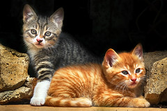 kitties (kristijan.siladic) Tags: kitties cat cats animal