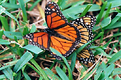 Monarch Butterfly (Danaus plexippus) (gg1electrice60) Tags: butterfly twomonarchbutterflies danausplexippus mating inthegrass garden pinellascounty florida fl america grass weeds ontheground ground