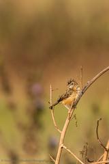 The punk (Moving Iris) Tags: bird birdphotography bokeh birding birdwatching nature nikon nikond500 nikkor200500vr zittingcisticola grassland