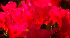 Macro - rhododendron (alh1) Tags: england haxby northyorkshire york azalea deciduous macro