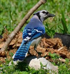 Blue Jay (Cyanocitta cristata) (dzittin) Tags: blue jay cyanocitta cristata