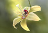 Lady Lily (Mandy Disher) Tags: troutlily ladybird