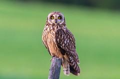 The short-eared owl (Asio flammeus) (Harles Azza Photography) Tags: owl shortearedowlasioflammeus sooräts jorduggla asio flammeus öökull