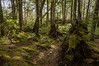 The Green Forests of Nova Scotia (TheNovaScotian1991) Tags: novascotia canada colchestercounty victoriapark truro atlanticcanada moss lichen forest trees nikond3200 afsdxnikkor1855mmf3556gvrii kitlens dirt shavings treeroots treestump fallenleaves fallentree logs treebranch beautiful landscape enchanted magical sphagnummoss blackspruce