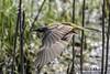 Lavandera boyera macho en vuelo ( Motacilla flava) (Esmerejon) Tags: ejemplardelavanderaboyeramachomotacillaflavaenvuelo fotografíarealizadael23deabrildel2018enlosalrededoresdelaslagunasdelanava fuentesdenava palencia aves pájaros naturaleza vuelo
