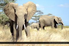 Africa's Heart (Gabby Canonizado 02 (New account)) Tags: kenya africa kenyaafrica africasheart heart love loveofafrica magicalkenya samburu nationalpark samburunationalpark africanelephants elephants canonizado gabbycanonizado nikon d7000 nikond7000 7003000mmf4056 nikon7003000mmf4056