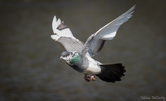 Rock Dove (Melissa M McCarthy) Tags: rockdove dove pigeon bird animal nature wildlife outdoor birdinflight bif flying motion action fast pigmentloss white feathers wings green stjohns newfoundland canada canon7dmarkii canon100400isii