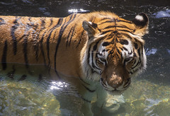 National Zoo 3 May 2018  (385) Tiger (smata2) Tags: tiger tigre smithsoniannationalzoo zoo zoosofnorthamerica itsazoooutthere animals zoocritters bigcats flickrbigcats
