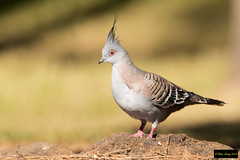Crested Pigeon (Ocyphaps lophotes) (Dave 2x) Tags: ocyphapslophotes crestedpigeon ocyphaps lophotes crested pigeon sydney nsw australia leastconcern endemic endemicspecies ocyphapslophoteslophotes