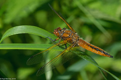 Bladerunner (Paul:Ritchie) Tags: anisoptera arthropoda dragonflies england insecta insects libellula libellulafulva libellulidae libellulinae nature nikond90 odonata paulritchie scarcechaser shapwickheath sigma105mmf28macro somerset wildlife wwwhampshiredragonfliescouk
