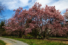 """Magnolia trees (Millie Cruz * """"On and Off-Busy"""") Tags: magnolia trees blossoms nature flowers pink hersheygardens hersheypa outdoors tamron18400 saveearth"""