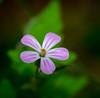 ruellia blossom (Danyel B. Photography) Tags: blossom blüte ruellia plant pflanze petal blatt nature natur macro makro close sony 90mm a7r2 details sharp spring bokeh