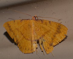 Speckled rustic gold Moth Eumelea sp Oenochrominae Geometridae Airlie Beach rainforest P1290626 (Steve & Alison1) Tags: speckled rustic gold moth eumelea sp oenochrominae geometridae airlie beach rainforest