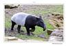 Tapir de Malaisie (Photographie (Val d'Oise)) Tags: borderfx