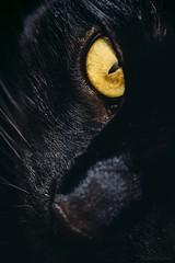 Black cat Blitz (WillemijnB) Tags: macromondays lowkey eye feline cat kat chat katze black dark dramatic gold golden eyes pupil oog whiskers snout face macro closeup
