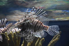 Pterois / Lion Fish (Adventurer Dustin Holmes) Tags: 2018 wondersofwildlife petrois lionfish fish exotic animal animals aquarium animalia chordata ocean saltwater