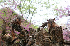 337/365/3624 (May 14, 2018) - Squirrels (including Juveniles) in Ann Arbor at the University of Michigan (March 28th, 2018)