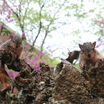337/365/3624 (May 14, 2018) - Squirrels (including Juveniles) in Ann Arbor at the University of Michigan (March 28th, 2018) thumbnail
