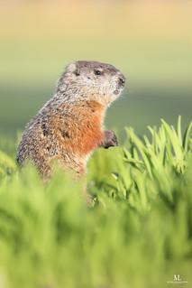 Groundhog - Marmotte commune - Marmota monax