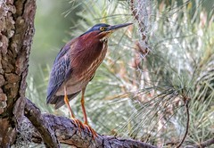 Little Green Heron - Explored (backyardzoo) Tags: blue heron littlegreen green greenheron explore explored wader