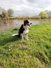 MY BORDER COLLIE (kelvin mann) Tags: rivertrent river koda bordercollie bordercolliesheepdog sheepdog collie