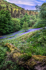 Blue in the Green (Glen Parry Photography) Tags: glenparryphotography hebdenbridge landscape blue bluebells calderdale craggs d7000 forest green hardcastlecrags nikon sigma sigma1020mm tree trees westyorkshire woodland woods yorkshire