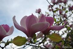Ботанічний сад імені Гришка Цвітуть магнолії InterNetri  Ukraine 202