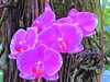 Purple orchids (thomasgorman1) Tags: purple orchid closeup canon trail garden botanica nature outdoors pretty flowers bloom plant hawaii island tropical preserve