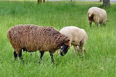 Schafe (mama knipst!) Tags: sheep animal