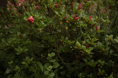 XX20180523a2134Bias-1.7 stops.jpg (rachelgreenbelt) Tags: orderericales rhododendronkatherine eudicots familyericaceae subfamilyericoideae rhododendrongenus asteridsclade ghigreenbelthomesinc americas greenbelt northamerica ouryard usa midatlanticregion maryland