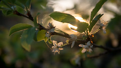 Sunny bokeh in April [explored!] (elkarrde) Tags: bokeh bokehlicious dof dofalicious depthoffield shallowdepthoffield shallowdof sunset sun nature leaves tree plumtree spring april 2018 spring2018 april2018 sunny bokehy gx7 dmcgx7 panasonicgx7 camera:model=dmcgx7 panasoniclumixdmcgx7 microfourthirds camera:mount=microfourthirds camera:format=microfourthirds panasonic camera:brand=panasonic leica panasonicleica lens:brand=leica dgsummilux leicadgsummilux11425asph summilux lens:model=dgsummilux11425asph lens:mount=microfourthirds lens:format=microfourthirds lens:focallength=25mm lens:maxaperture=14 digitalphotography digital mediumdigital