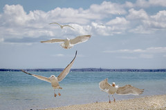 Seagulls (lablue100) Tags: seagulls gulls beach sand water bay sea food bread wings eating clouds colors action