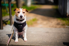This Way Please (moaan) Tags: kobe hyogo japan dog jackrussellterrier kinoko portrait dogportrait thelittledoglaughed dof depthoffield bokeh bokehphotography leica leicaphotography leicamp type240 summarit 50mm f15 summarit50mmf15 leicasummarit50mmf15 urata 2018