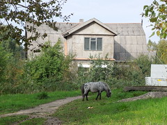 pony (cloversun19) Tags: attic window roof home house pony animal grass tree sky road branches leafs foliage russia russian spb walking country holiday holidays park garden dream dreams positive forest happy view grey legend fairytale fir firtree birch village landscape building