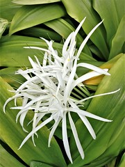 Starburst (rufaro) Tags: kew london lily white flower