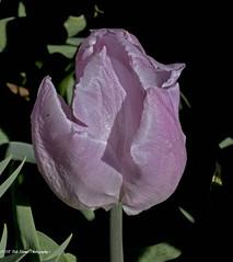 Tulip Purple. (rumerbob) Tags: tulippurple tulip flower floral flowergarden fauna flowerphoto botany botanicalgardens botanical nature naturewatcher naturephotography longwoodgardens canon7dmarkii canon100mmmacrolens