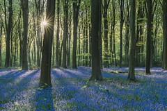 Sunstar Bluebell (James Whitlock Photography) Tags: europe uk england hampshire micheldever bluebell forest woods blue bell sun sunrise star beech new growth nikon d810 gitzo
