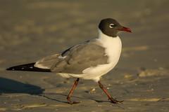 Strutting his stuff (ChicagoBob46) Tags: laughinggull gull bird florida bunchebeach nature wildlife ngc coth5 npc
