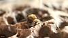 bee-1 (FLOCVROFF) Tags: bee abeille pollen recolte chivaroff 50mm april spring printemps