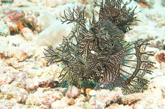 DSC02318 (piderello) Tags: crinoidcity12 milnebay png 30thapr2018 makroplanar2850 touit2850m