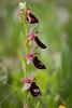 Ophrys bertolonii benacensis (f.mangili) Tags: ophrys bertoloni benacesis esmate solto collina lago diseo bergamo flora flower spring