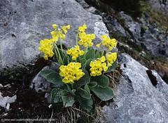 Alpen-Aurikel (Primula auricula) , NGID2065323261 (naturgucker.de) Tags: ngid2065323261 naturguckerde alpenaurikelprimulaauricula tannheimroteflüh gimpel köllenspitze gehrenspitze cgüntherundmonikakainz