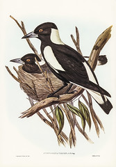Gymnorhina Tibicen (Piping Crow-Shrike) Illustrated by Elizabeth Gould (1804–1841) for John Gould's (1804-1881) Birds of Australia (1972 Edition, 8 volumes). One of the most celebrated publications on Ornithology worldwide, Birds of Australia introduced m (Vintage illustrations by rawpixel) Tags: birdsofaustralia currawong elizabethgould gymnorhinatibicen pipingcrowshrike shrike australia bellmagpies birds drawing illustration name